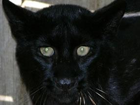 bobcat_black