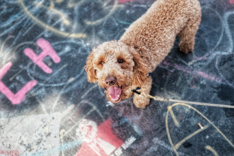 Curly Haired Dog Grooming Tips For Rain And Mud