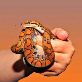 Reptilian Pets: The Snake Every Little Boys Dream Pet