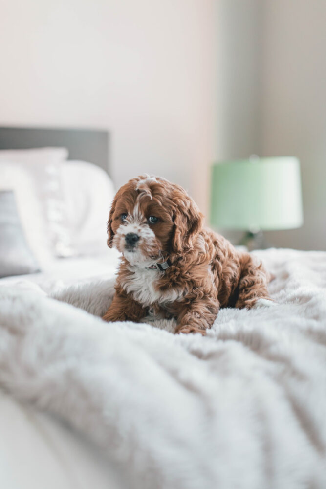 Cavapoo Puppy sitting on bed