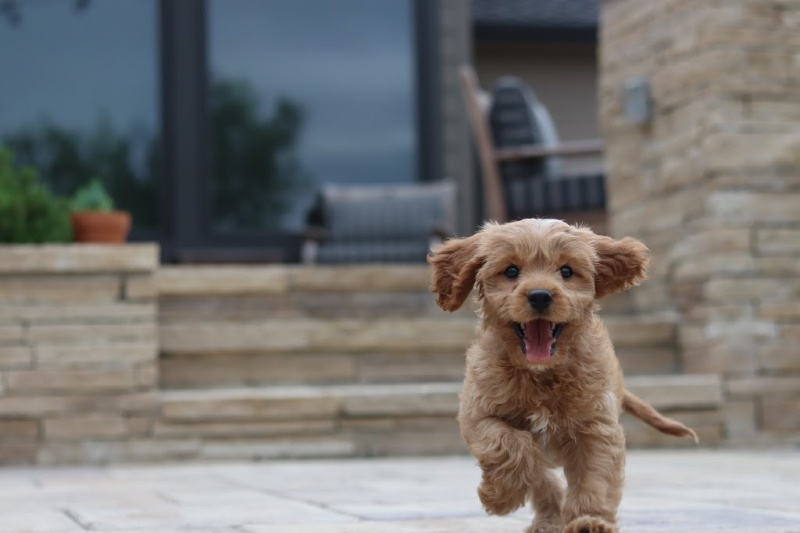Cavapoo Puppy running outside of a house