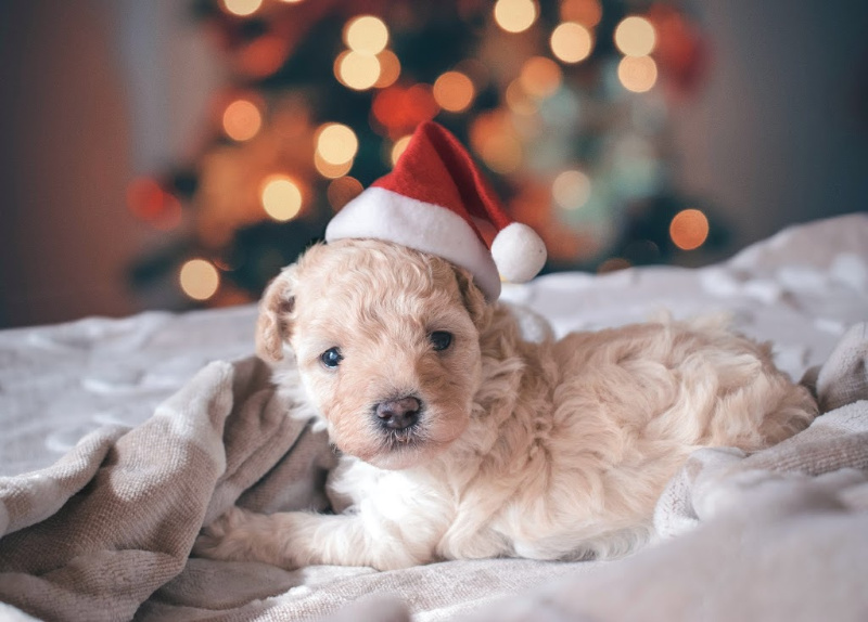 Cavapoo Puppy laying on white blanket with Santa hat on