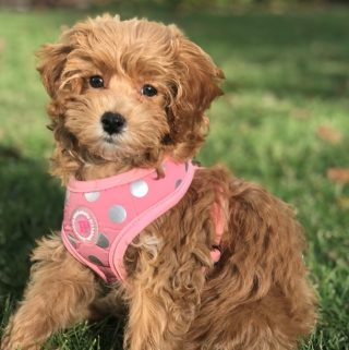 11 pros and 11 cons of Cavapoo Puppies Breed