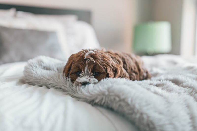 Cavapoo Puppy laying on blanket on a bed.