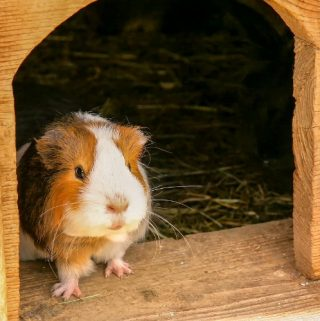 HOW TO CLEAN A GUINEA PIG CAGE – A Step-By-Step Guide