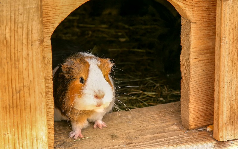 How to clean a guinea pig cage step by guide
