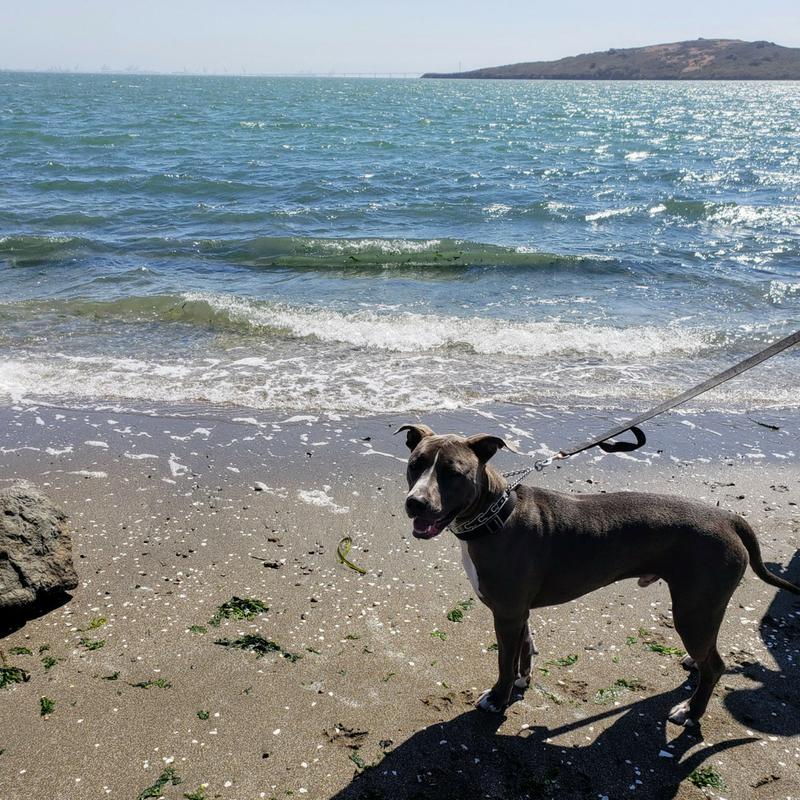 Pitbull on leash at the beach