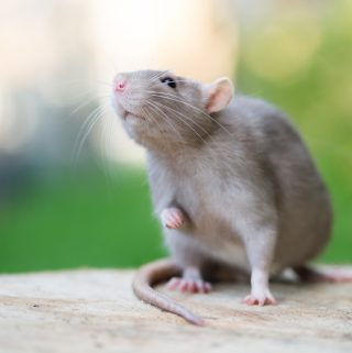 Man's Therapy Rat Causes Controversy in Nashville
