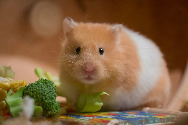 How to Take Care of a Hamster Properly