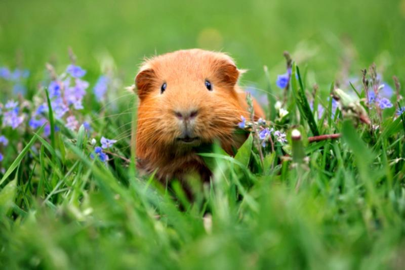 4 Top Reasons Why Guinea Pigs Make Good Pets