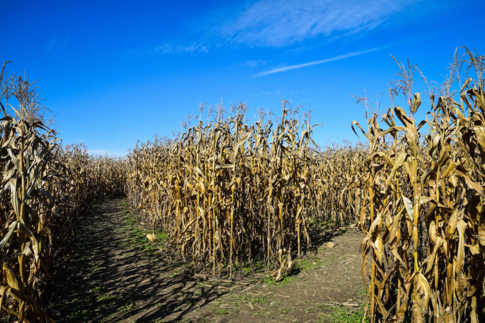 4 Steps to Creating an Awesome Corn Maze!