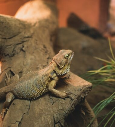 A Guide for Looking After Your New Bearded Dragon