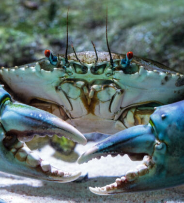 Dungeness Crab and the Huge Market for Online Purchase