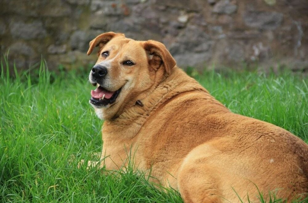 Obesity In Dogs: Recognizing It And How You Can Help