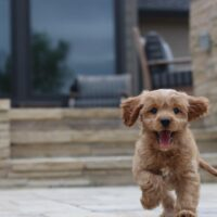 The Ultimate Guide – Cavoodle Dog Breed