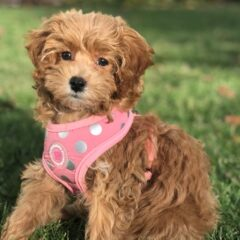 Cavapoo Puppy sitting on grass